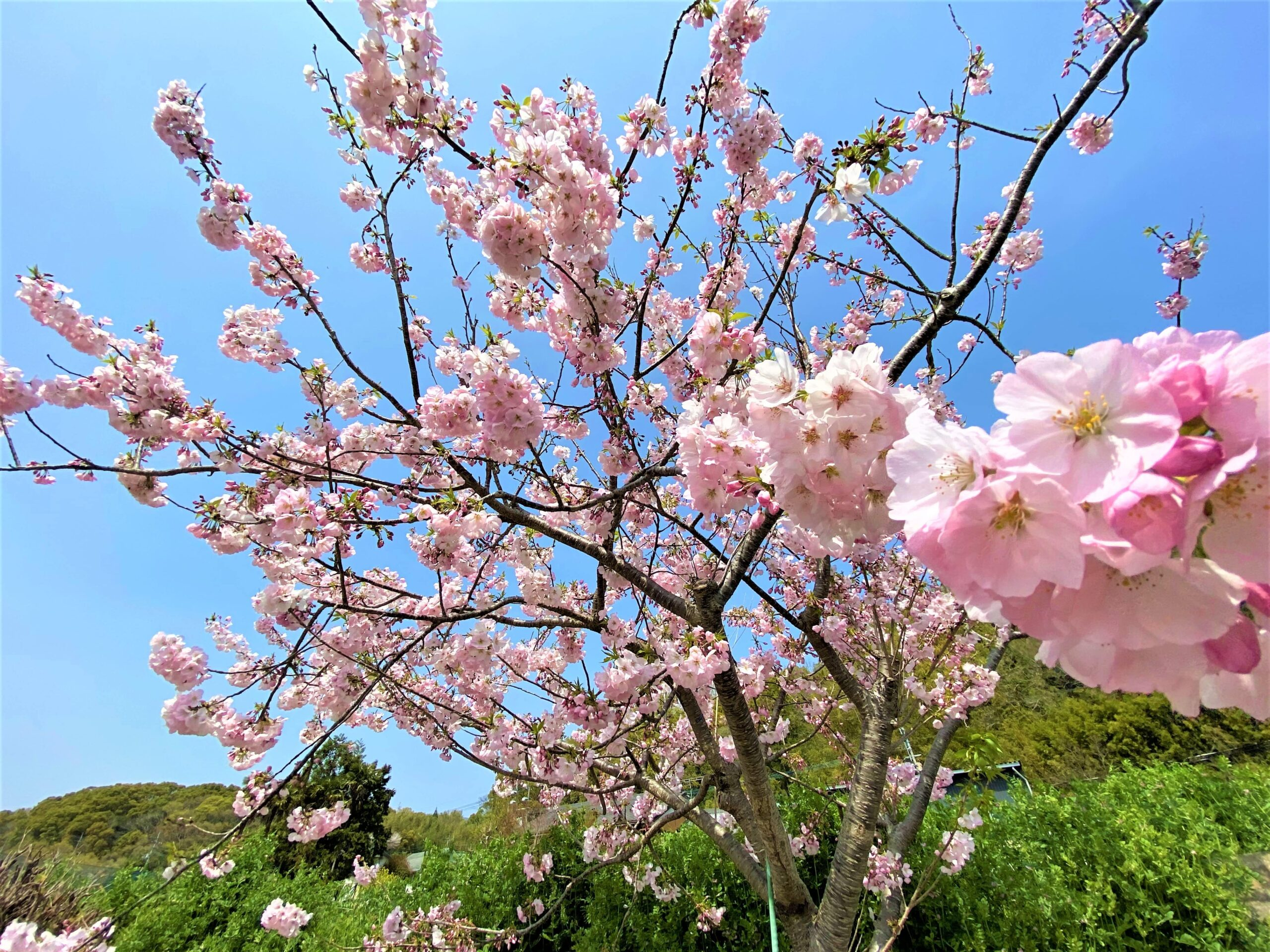 綺麗な桜が咲きました!